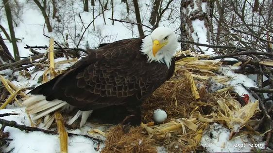 Decorah Bad Eagle Webcam in the United States
